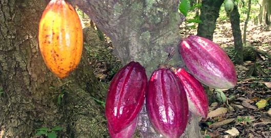 arbol-cacao