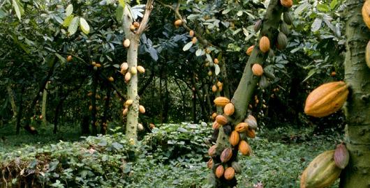 árbol de cacao.jpg